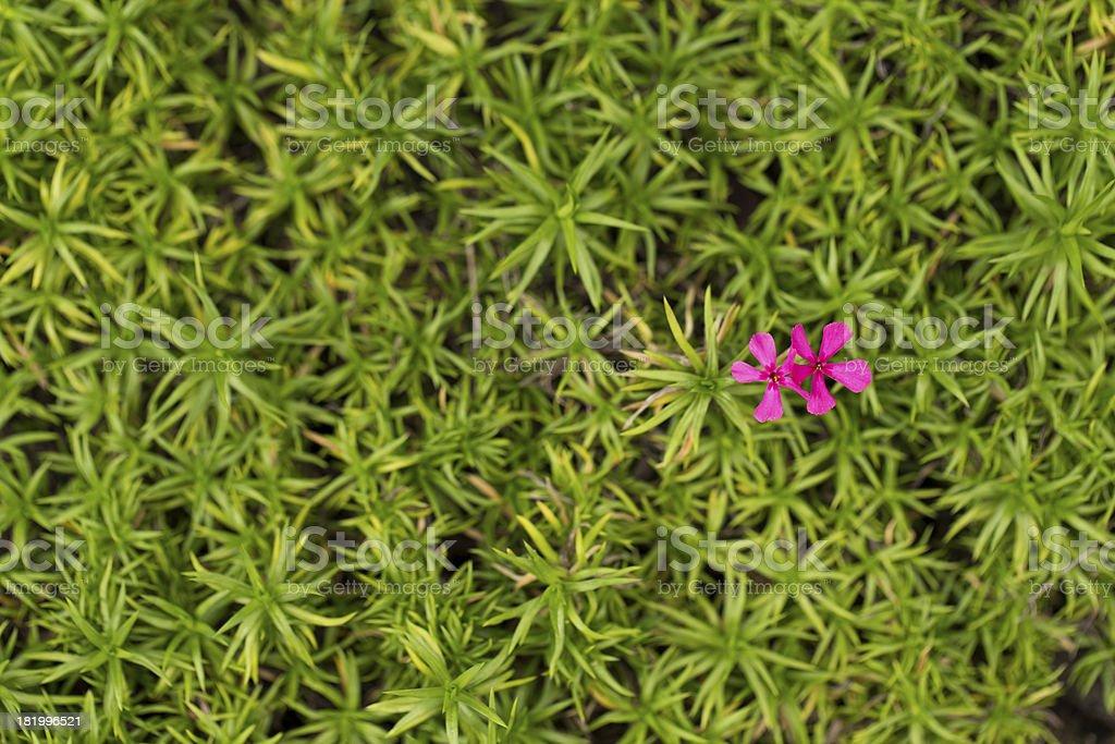 Two Purple Moss Phlox Flowers royalty-free stock photo