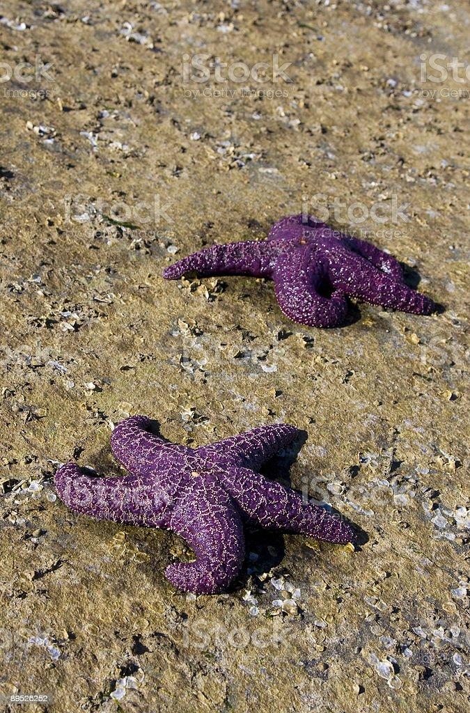 Zwei lila Seesterne Lizenzfreies stock-foto