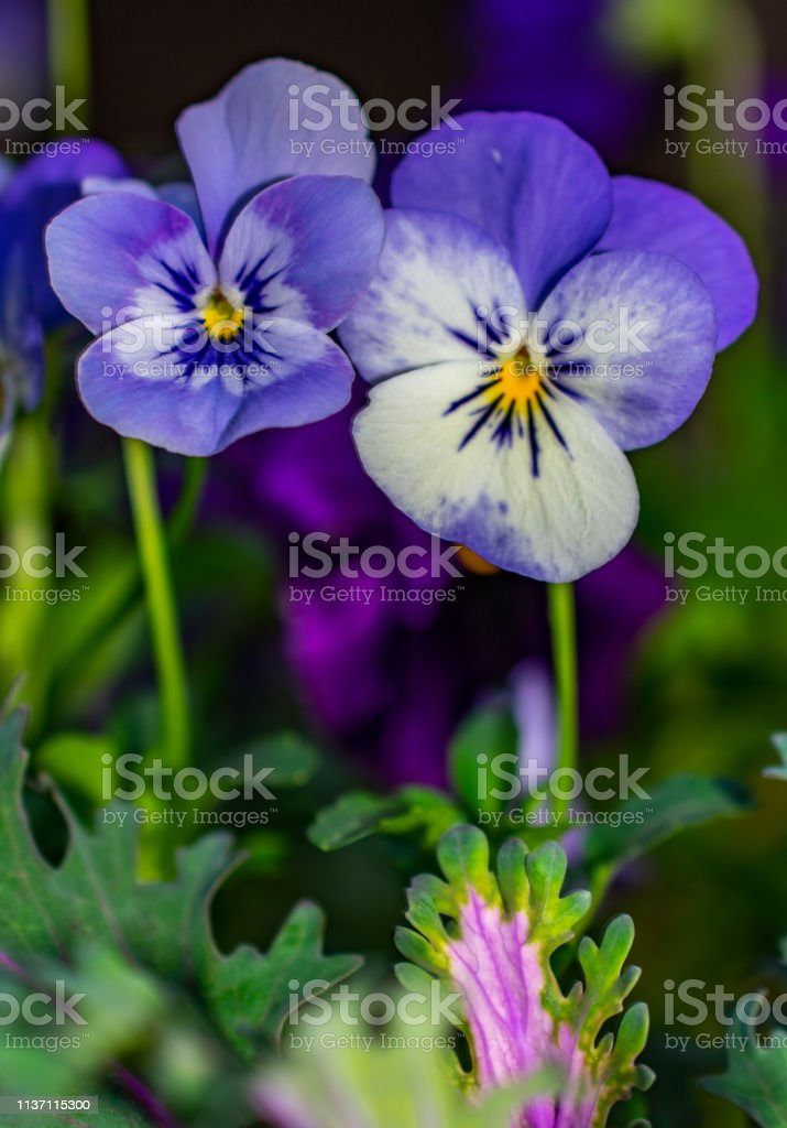 two purple viola flowers spring stock photo