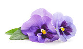 Two purple violets isolated on a white background.