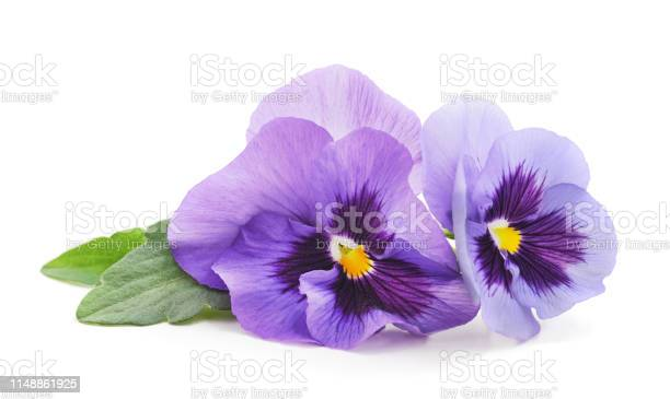 Two purple violets picture id1148861925?b=1&k=6&m=1148861925&s=612x612&h=g5 ohosqqsadwioyt9uivskzt9 uvel fd 8t7mezn8=