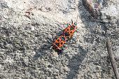 Two Pyrrhocoris apterus bugs on stone background. Small firebugs run on nature