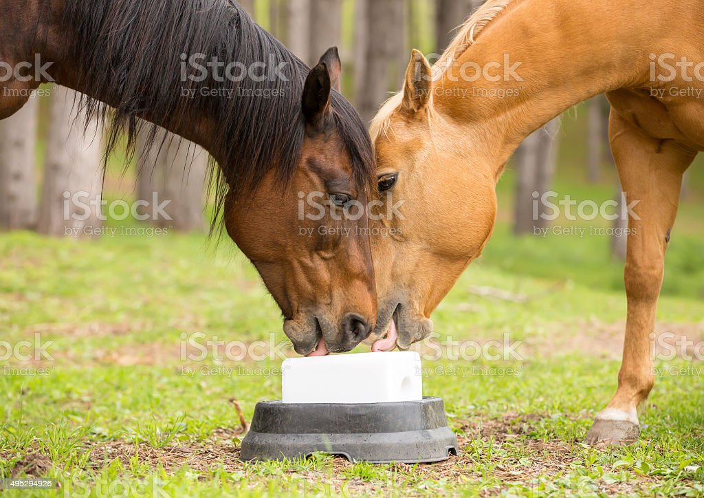 Two Quarter Horses Licking New Salt Block stock photo