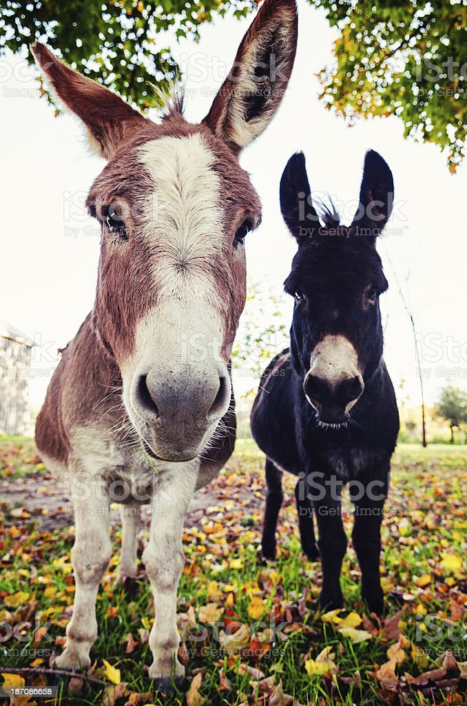 Two Quirky Donkeys royalty-free stock photo