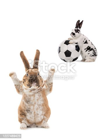 istock Two rabbits about to play football isolated on white 1227489423