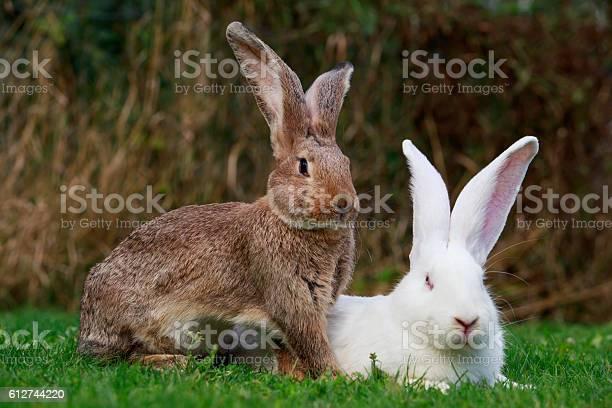 Two rabbits on a green picture id612744220?b=1&k=6&m=612744220&s=612x612&h=omtymrtof 78h6uvlc1aysxl077f3aeo4vj1yw9wkji=