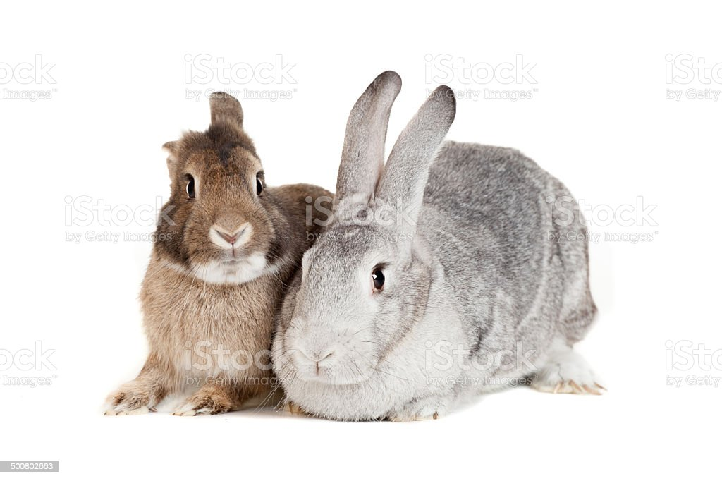 Two rabbits on a white background stock photo