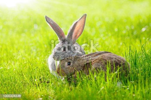 istock Two rabbits 1000004338