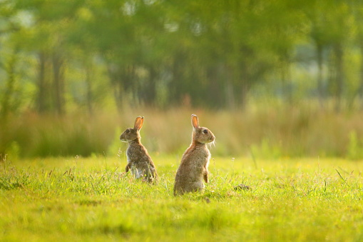 Two rabbits on the meadow in Seaton Wetlands Nature Reserve, Devon
