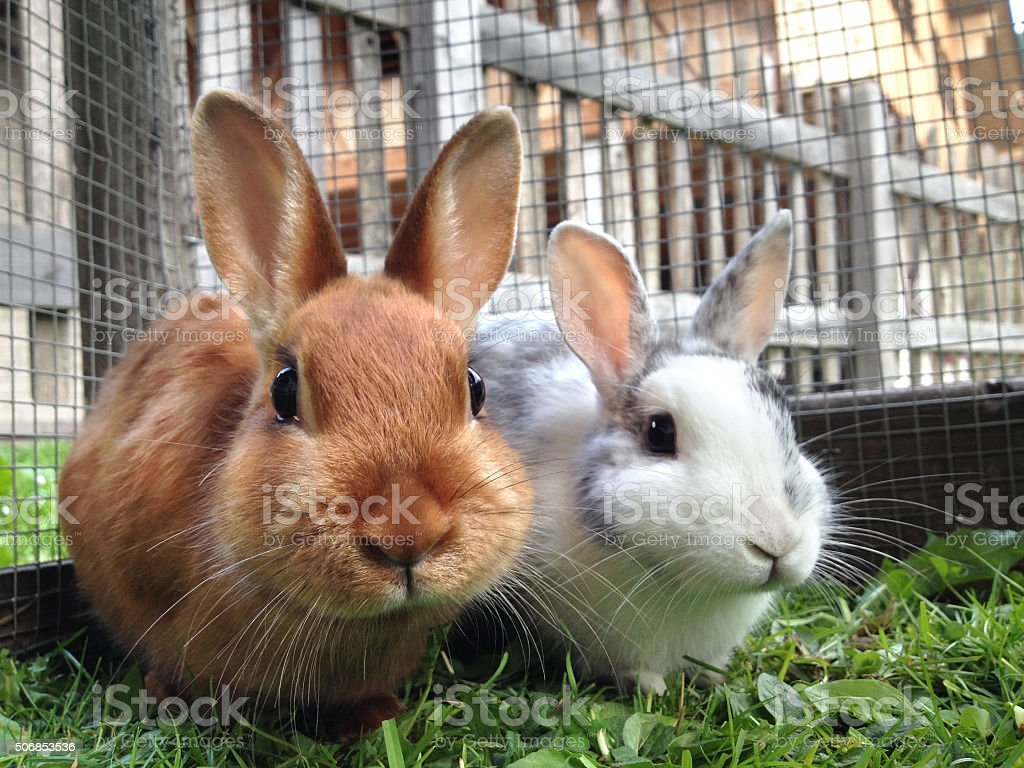 Dois coelhos - foto de acervo