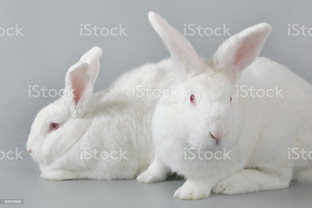 two rabbits royalty-free stock photo