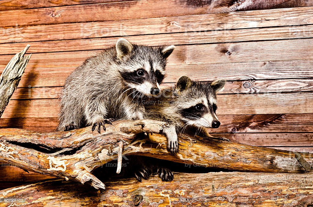 Two raccoon sitting on a tree trunk stock photo