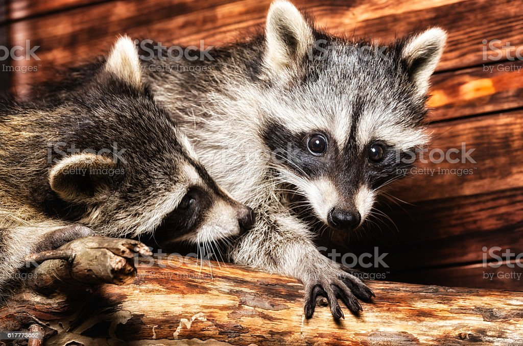 Two raccoon sitting together on a tree trunk stock photo