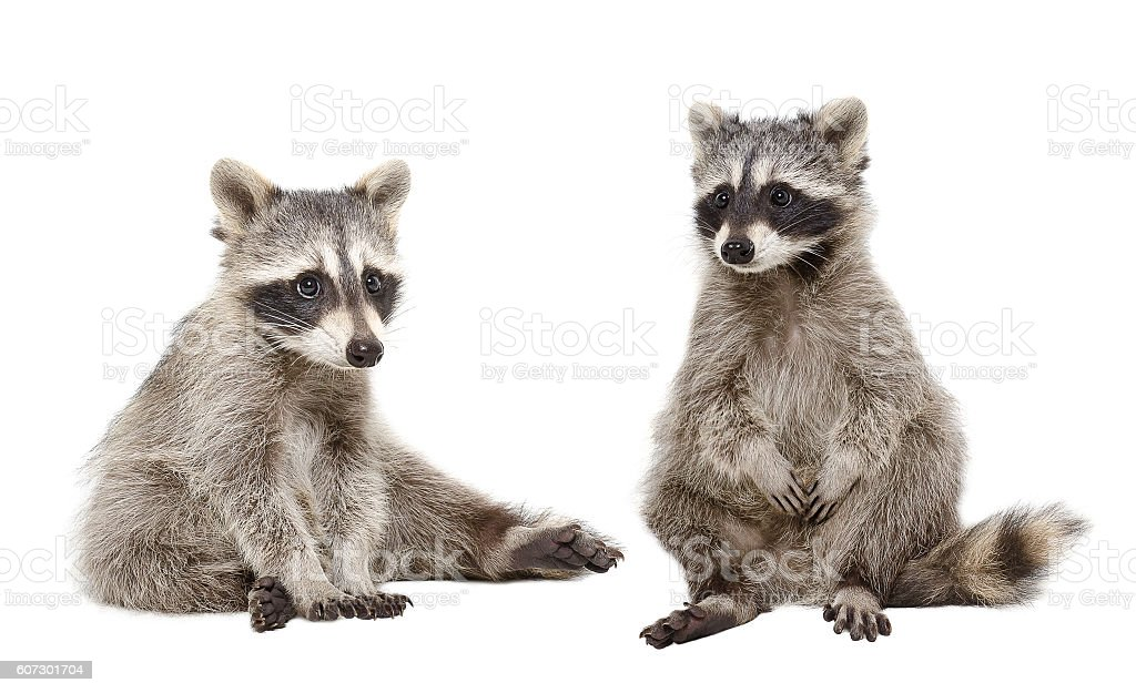 Two raccoon sitting together stock photo