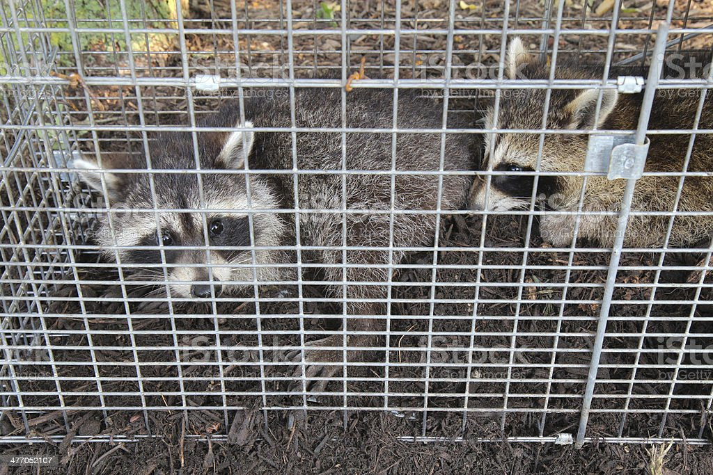 Two raccoons (Procyon lotor) caught in a live trap stock photo