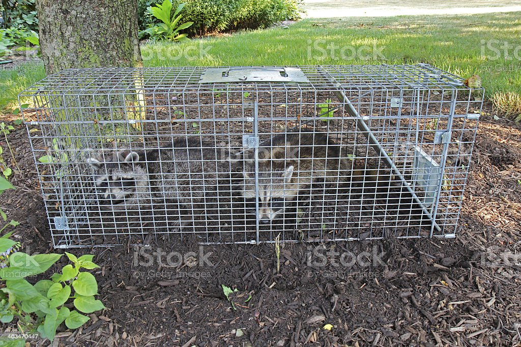 Two raccoons Procyon lotor caught in a live trap outdoors stock photo