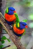 Two affectionate Trichoglossus moluccanus perched on branch in the wild