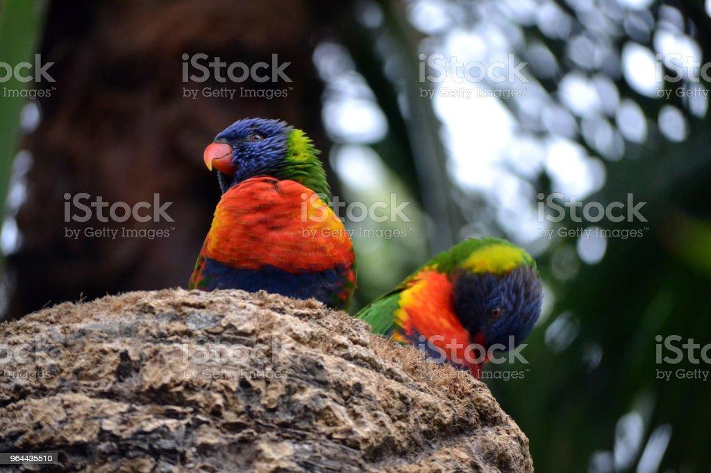 Two Rainbow Lorikeet, Trichoglossus haematodus parrots - Royalty-free Animal Stock Photo