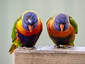 Horizontal closeup view of two beautiful vibrant wild Rainbow Lorikeets perched on a railing in a suburban backyard on the south coast of NSW