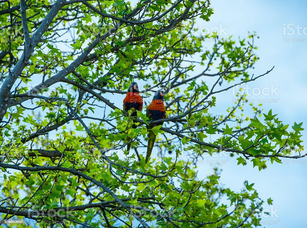 two rainbow lorikeets sitting in a tree stock photo
