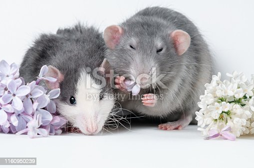 istock Two rat friend lie on a white background in vibrant colors 1160950239