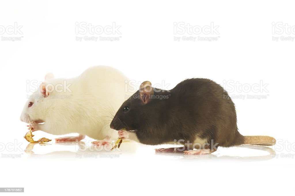 Two rat royalty-free stock photo