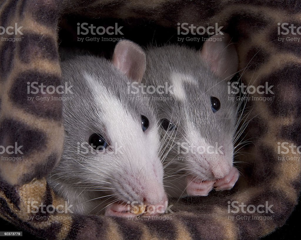 Two rats eating royalty-free stock photo