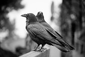 Side view of two Canary ravens perching on wooden fence, black and white view. Caldera de taburuiente, La Palma, Canary islands, Spain.