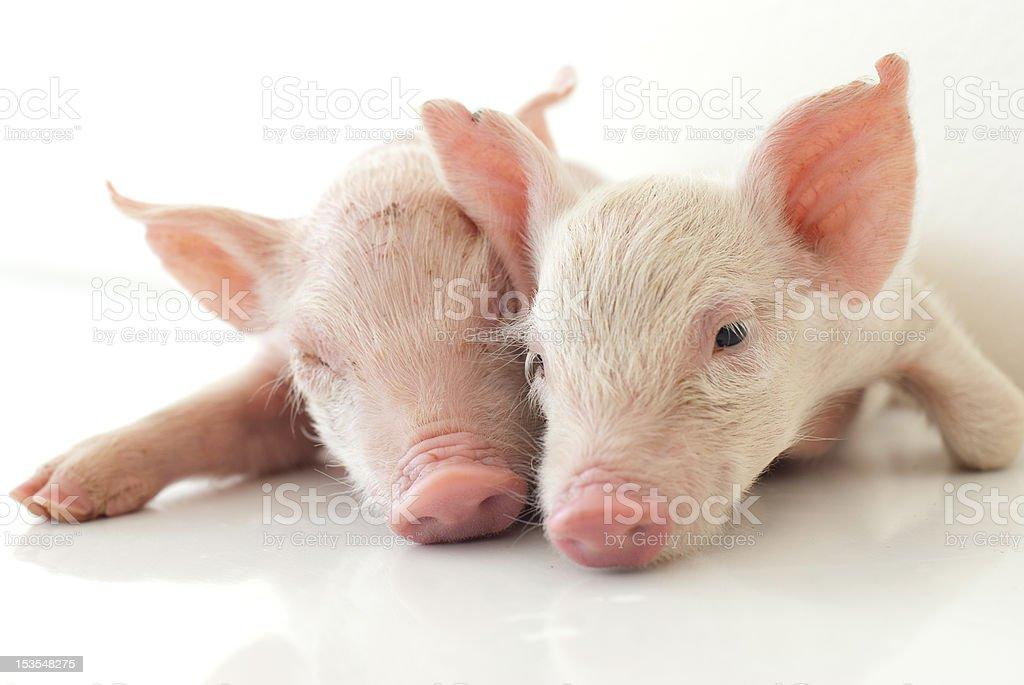 two recumbent piglet on white floor royalty-free stock photo
