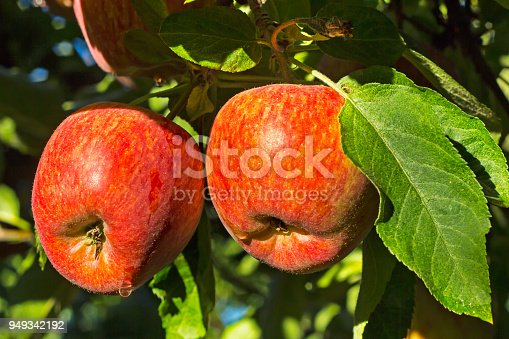 istock Two red and ripe apples 949342192