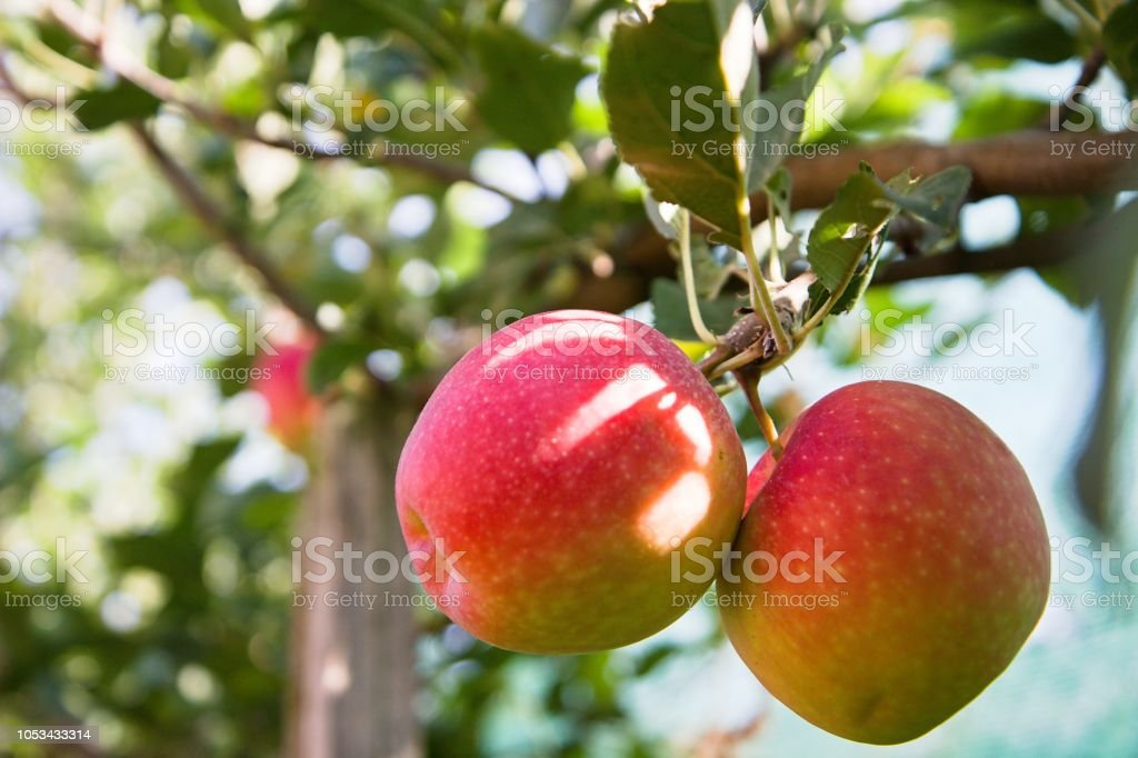 two red and yellow apples on the tree stock photo