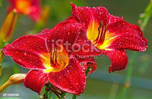 daylillies, rain, drops,