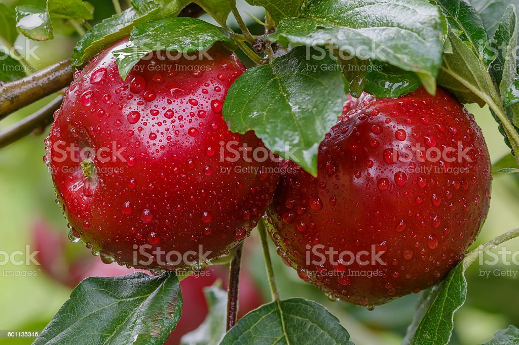 Two red apples in drops of rain on a branch. stock photo