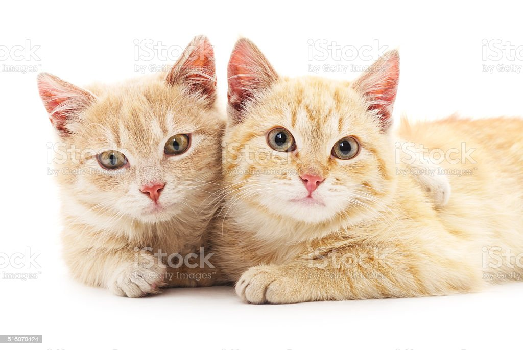 Two red cats. stock photo
