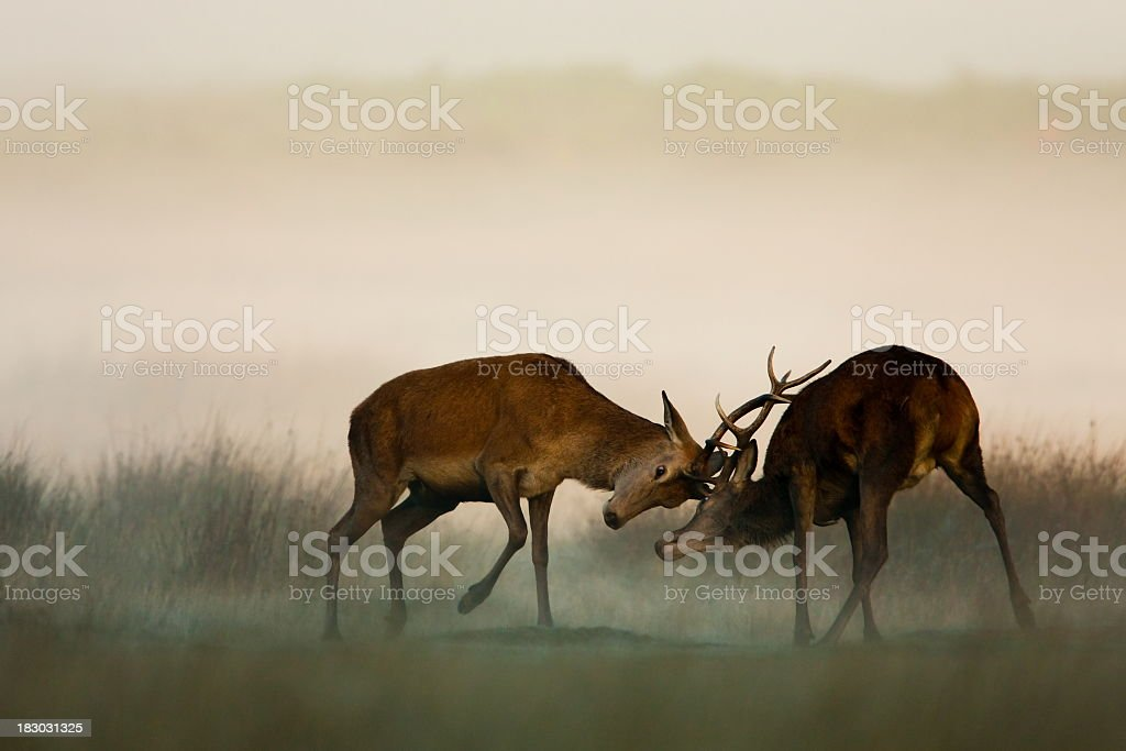 Two red deer fighting in the fog stock photo