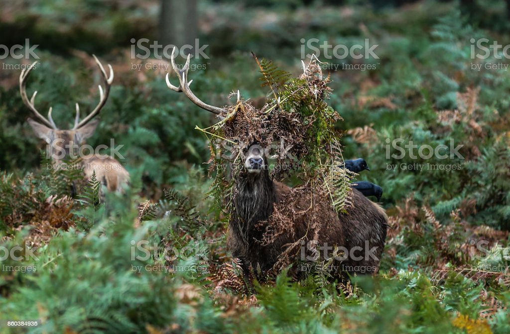 Two Red Deer Stag, one unusual hairstyle stock photo