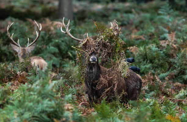 two red deer stag, one unusual hairstyle - kamuflaż zdjęcia i obrazy z banku zdjęć