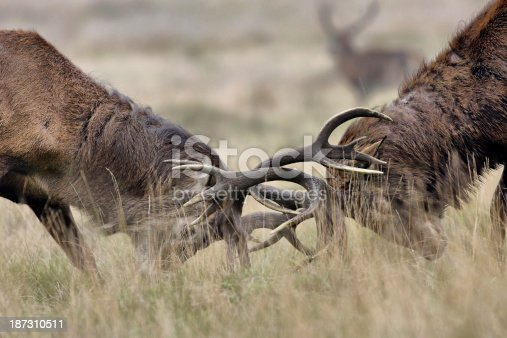 465666157 istock photo Two stags fighting in the rut 187310511