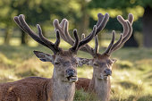 Two Red Deer stags (Cervus elaphus) growing velvet antlers in resting in grassy parkland in summer