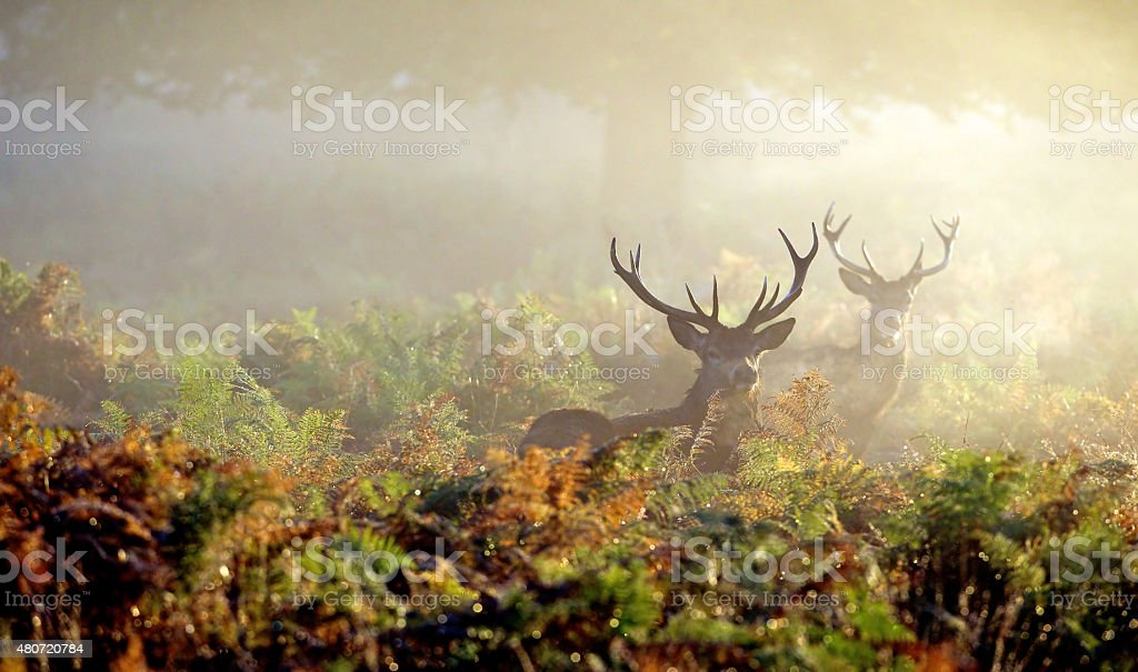 Two red deer stags in the mist stock photo