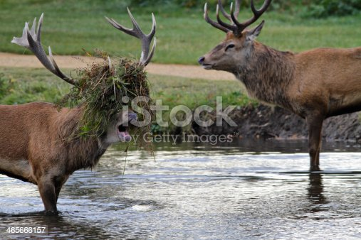 465666157 istock photo Stag beatle two stags fight in river 465666157