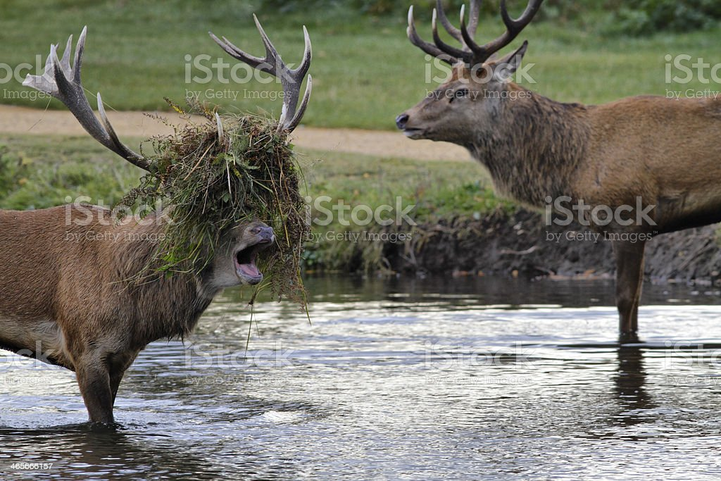 Stag beatle two stags fight in river stock photo
