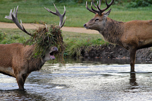 stag beatle two stags fight in river - whiteway deer stock photos and pictures