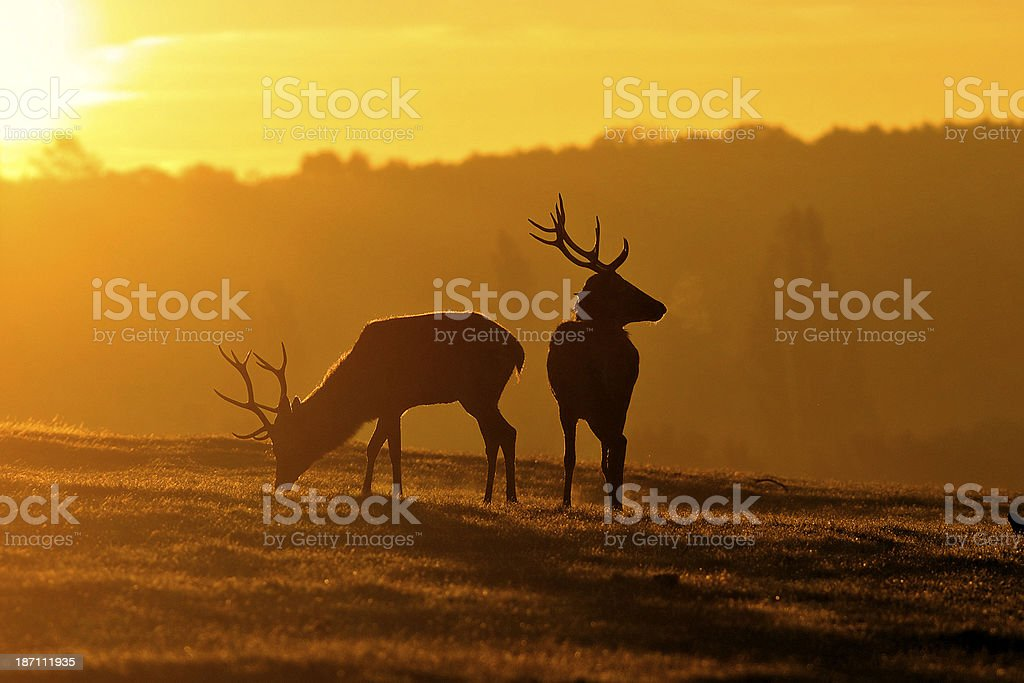 Young red deer stags are brothers at dawn stock photo
