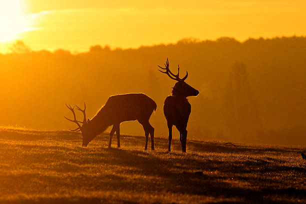 young red deer stags are brothers at dawn - whiteway deer stock photos and pictures