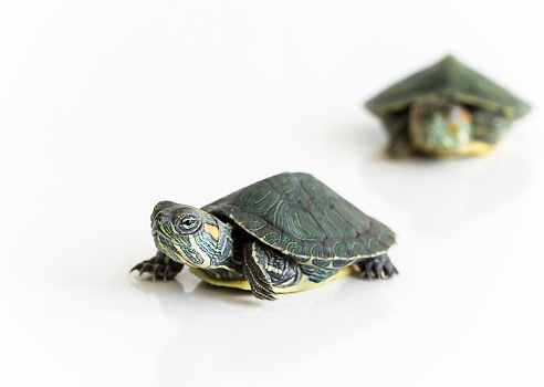 istock Two Red eared Slider turtle (Trachemys scripta elegans) on white background. Selective focus. Close up. 844612538