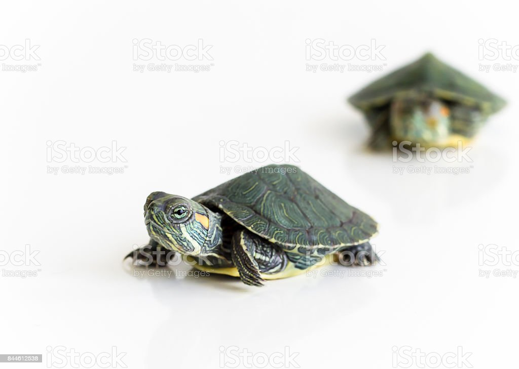 Two Red eared Slider turtle (Trachemys scripta elegans) on white background. Selective focus. Close up. stock photo