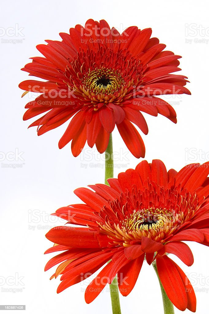 Two Red Flowers Profile Isolated Fleur Rouge Stock Photo More