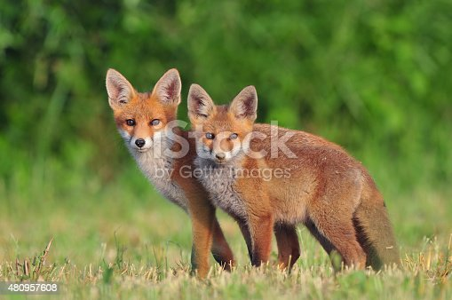 Photo of two red foxes in a field