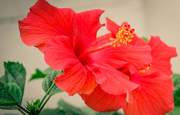 Two Red Hibiscus/ China Rose stock photo